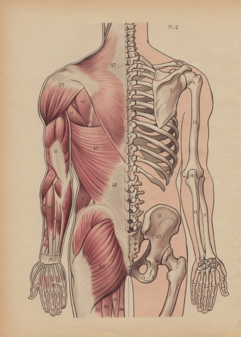 Dorsal Muscles and Bones Illustration